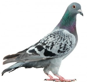 c94e30fedef1c09f34a958fc83674db9--pigeon-pictures-racing-pigeons